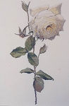 Diana - White Rose - (Cross Stitch)